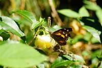 晩秋の蝶達1 - おらんくの自然満喫