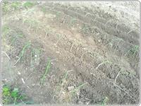 田舎便り109 玉ねぎを植える他 - タワラジェンヌな毎日