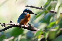 井の頭公園のカワセミさん - *Toypoodle  x3 + Birds*