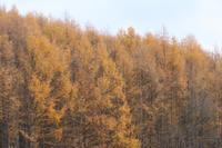 カラマツの紅葉と秋まき小麦~11月の美瑛 - My favorite ~Diary 3~