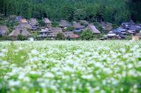 蕎麦の花! ~美山 かやぶきの里~ - Prado Photography!