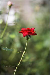 美しいバラには。。。 - 我夢工房