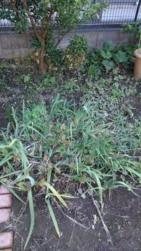 ジャーマンアイリスの掘り起こし - うちの庭の備忘録 green's garden
