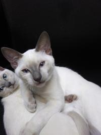 トンキニーズ子猫のオーナー募集中 - MINKWIN Cattery &Pretty Aki