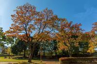 昭和記念公園のイチョウの黄葉 - あだっちゃんの花鳥風月