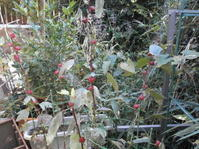 エンドウの種まき - 自然農☆☆☆菜園日記