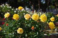 からっ風が吹くローズガーデンへ ~ 敷島公園 Ⅳ - 季節の風を追いかけて