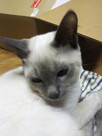トンキニーズ子猫のオーナー募集中 すみれ - MINKWIN Cattery &Pretty Aki