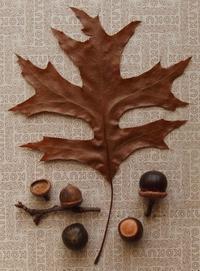 #ドングリ 『ピンオーク』 Quercus palustris - 自然感察 *nature feeling*