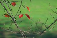 藤原宮跡桜紅葉と菜の花畑 - まほろば 写真俳句