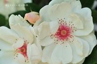 赤い瞳を持つ薔薇 - 彼とカヲリの庭の関係