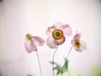 Japanese anemone2 - 心の色~光生写真館~