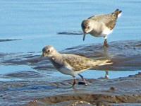 オジロトウネン - barbersanの野鳥観察
