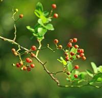 木の実、草の実。賢治の実② - イーハトーブ・ガーデン