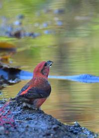 1羽、2羽....イスカの水飲み - 鳥さんと遊ぼう