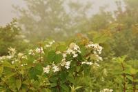 八島湿原:ノリウツギ - 都忘れと忘れな草