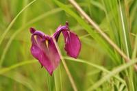 八島湿原:ノハナショウブ - 都忘れと忘れな草