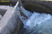 サケ遡上 - 奥武蔵の自然
