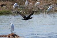 多摩川のカワウさん - *Toypoodle  x3 + Birds*