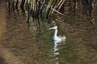 ★カモやオオバンが増えてきました・・・先週末の鳥類園(2017.11.11~12) - 葛西臨海公園・鳥類園Ⅱ