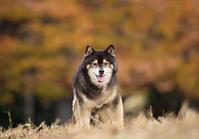 豆柴! - いとしい犬たちのフォトブログ