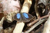 ルーミスシジミ晩秋の観察 - 蝶のいる風景blog
