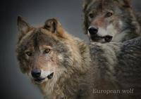 ヨーロッパオオカミ :Eurasian wolf - 動物園の住人たち写真展