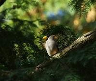 数羽のイカルに、、 - ぶらり探鳥