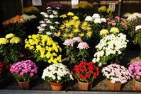 菊花展 - 日本の原風景を訪ねて・・