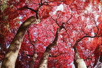 上田城跡公園紅葉 - よく晴れた雨の日に。
