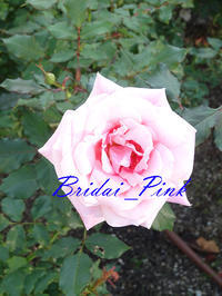 薔薇の写真 ブライダル ピンク ネイル画像。 - 写真と画像 Illustrator&Photoshopで楽しんでます! ネイル画像!