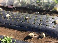 大根をお試し収穫 - my small garden~sugar plum~