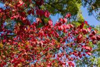 ナナカマドの紅葉 - あだっちゃんの花鳥風月