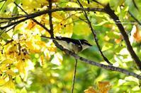 温暖化で北上? リュウキュウサンショウクイ - azure 自然散策 ~自然・季節・野鳥~