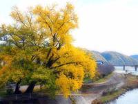大銀杏と桜 - つれづれ日記