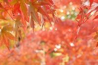 雫もみぢ * goutte-feuille d' automne - ももさへづり*うた暦*Cent Chants d' une Chouette