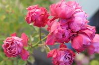 房咲きのあおい*種まきビオラをポット上げ - my small garden~sugar plum~