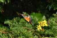 N公園のカワセミ(川蝉、翡翠) - 池のフォト遊び(今日の一枚から)