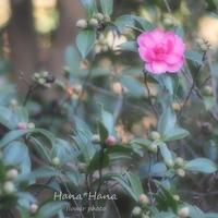 *山茶花* - HANA*HANA