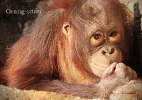 オランウータン:Orang-utan - 動物園の住人たち写真展