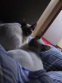 朝から、子猫達 - MINKWIN Cattery &Pretty Aki
