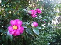 山茶花が咲き始めました! 11/18 - つくしんぼ日記 ~徒然編~