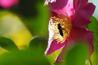 山茶花にアシブトハナアブ - Ⅱ - TOM'S Photo