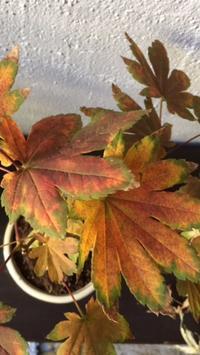 楓の盆栽。 - sweat lodge @ blog