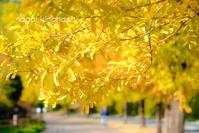 秋の黄色 - 長い木の橋