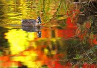 カルガモ:Spot-billed duck - 動物園の住人たち写真展
