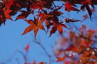 見頃を迎えたマイガーデンのモミジ - 季節の風を追いかけて