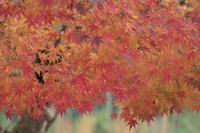 紅葉~高雄神護寺 - チョウ!お気に入り