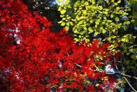 濃い霧の朝に・・・庭の紅葉  朽木小川・気象台より - 朽木小川・気象台より、高島市・針畑郷・くつきの季節便りを!