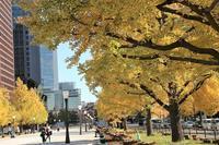 東京駅前御幸通りの黄葉は綺麗な色に!!!!!! - 自然のキャンバス